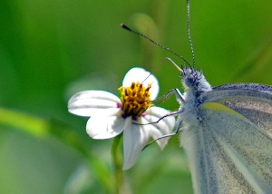 Small cabbage white (Doi Sutep Nov 2013) 4