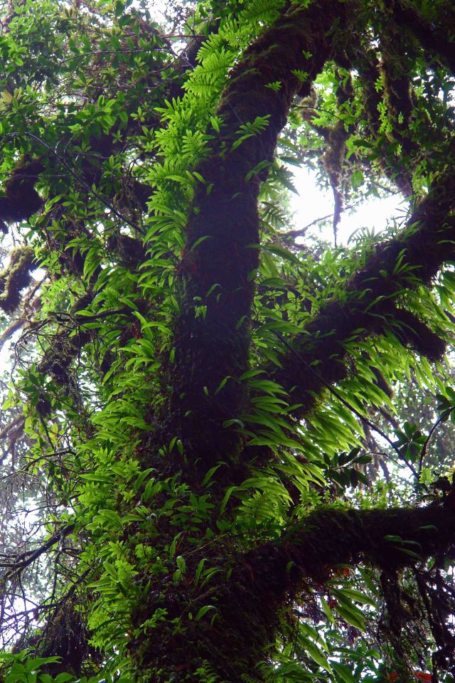 Tree covered in ferns and epiphytes on the Ang Ka trail