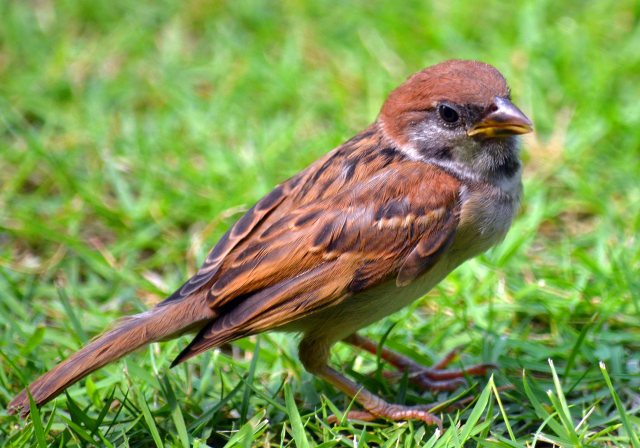 Asian tree sparrow juvenile