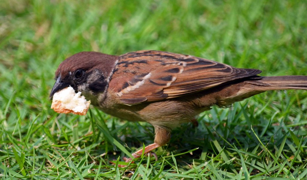 Asian tree sparrow with bread