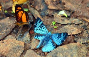 Black-patched metalmark (Lasaia agesilas)  with damaged hind wing