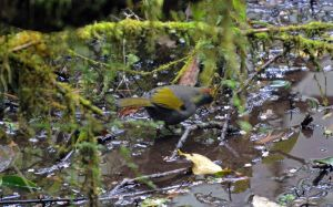 Chestnut-capped Laughing thrush hunting for food on the wet forest floor.