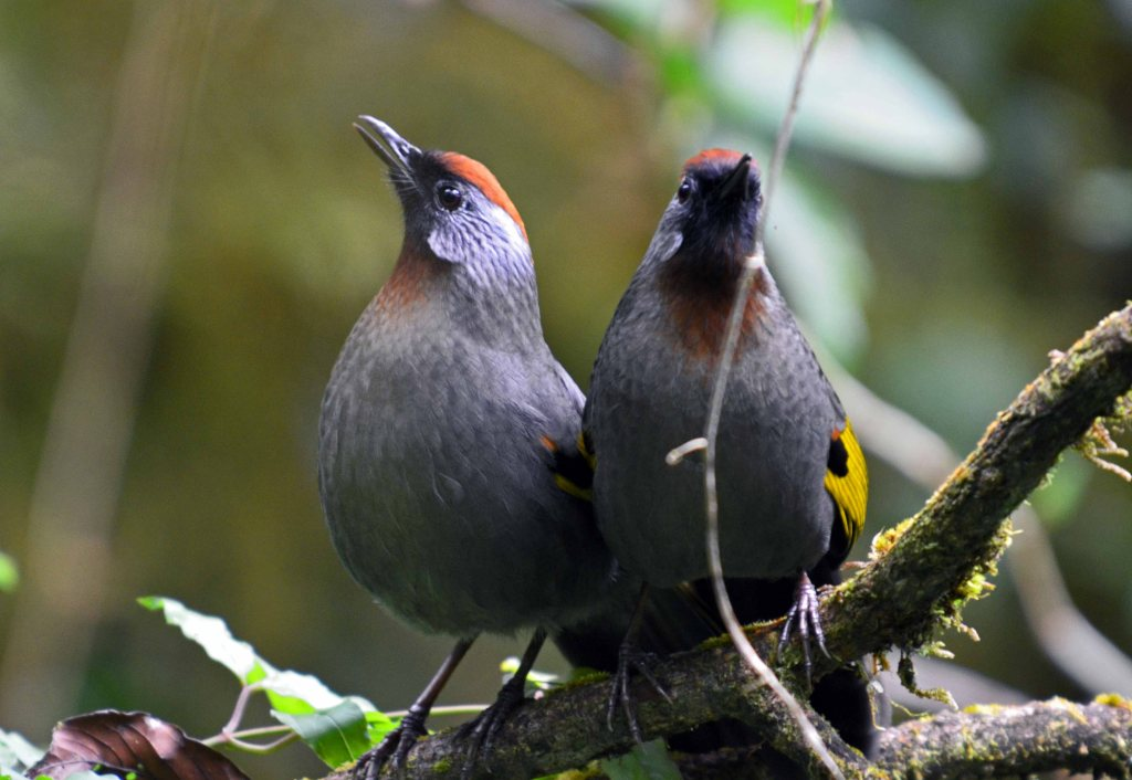 Chestnut-capped Laughingthrushes (Garrulax mitratus)