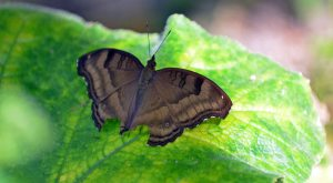 Chocolate pansy (Junonia iphita) with symmetrically damaged hind wings