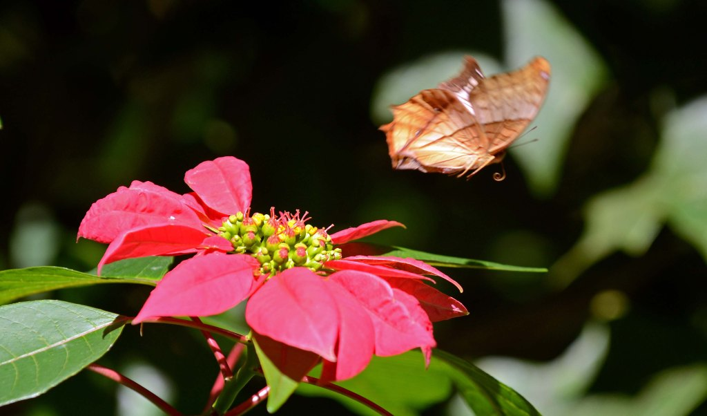 Common Cruuiser (Vindula erota erota) female taking off from a poinsettia flower