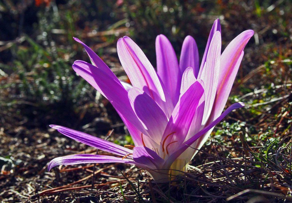 Merendera montana (L.) Lange