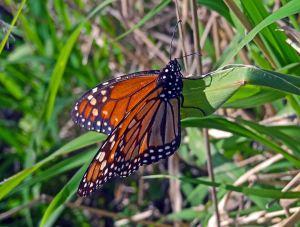 Monarch, Argentina
