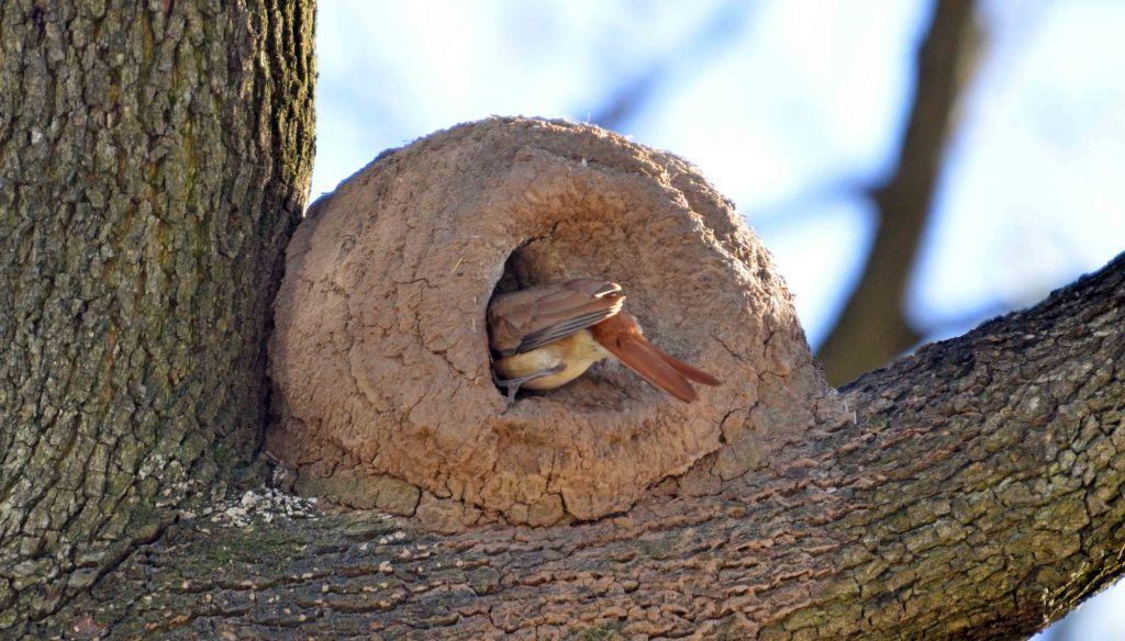 A Rufous Hornero (Furnarius rufus) nest or oven