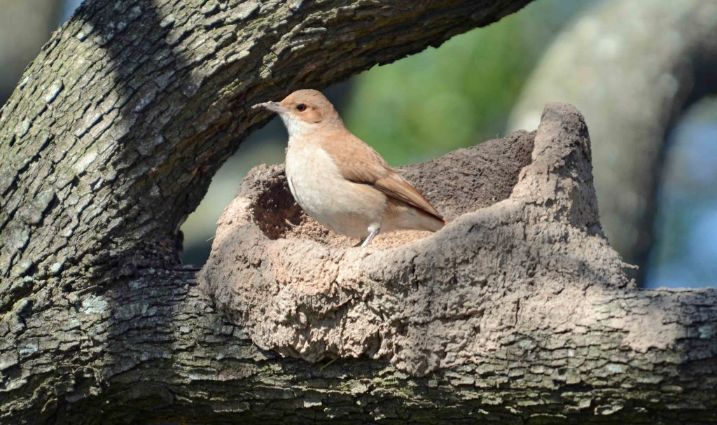 Rufous Hornero (Furnarius rufus) building a nest