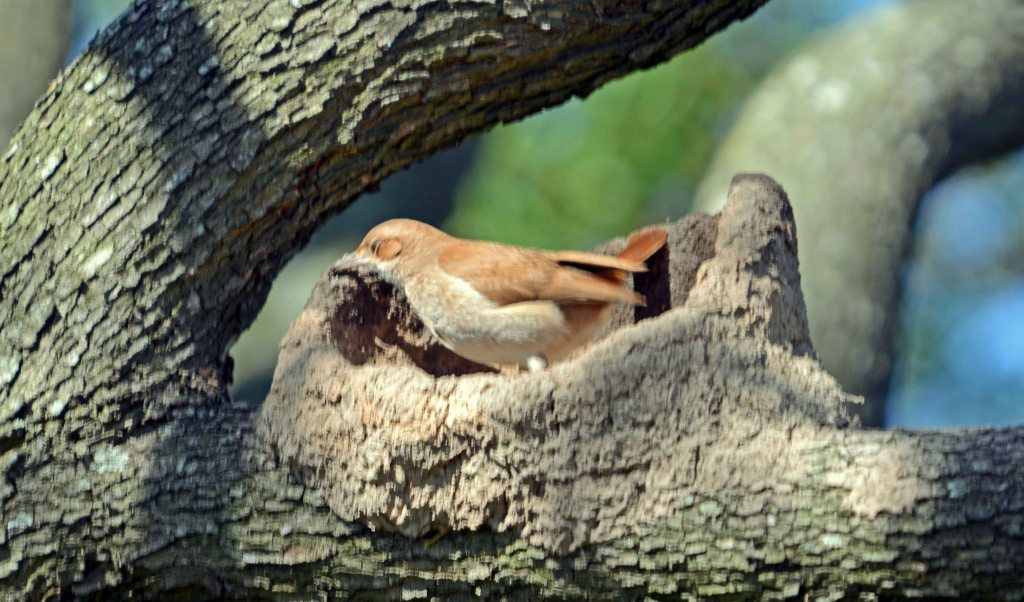 Rufous Hornero (Furnarius rufus) applying mud to the side of the nest