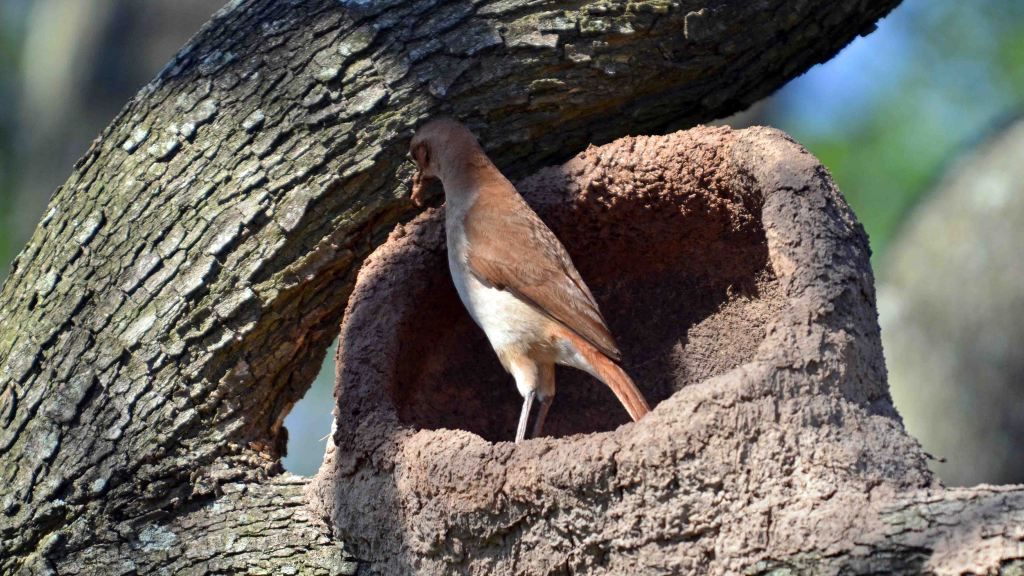 Rufous Hornero (Furnarius rufus) building up the back of the nest