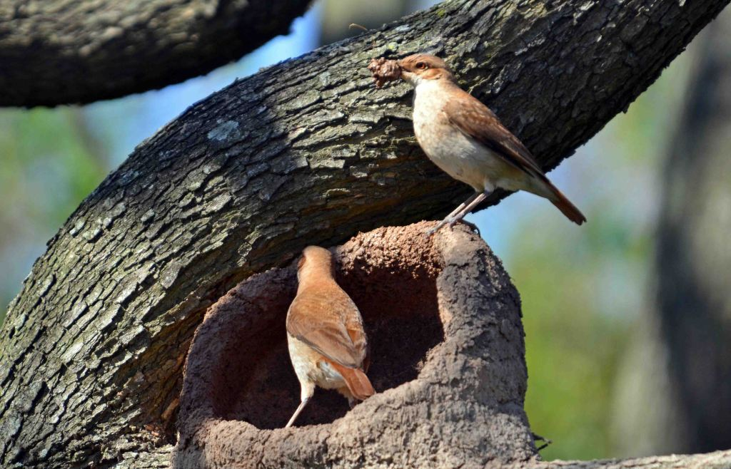 A pair of  Rufous Horneros (Furnarius rufus) building a nest together