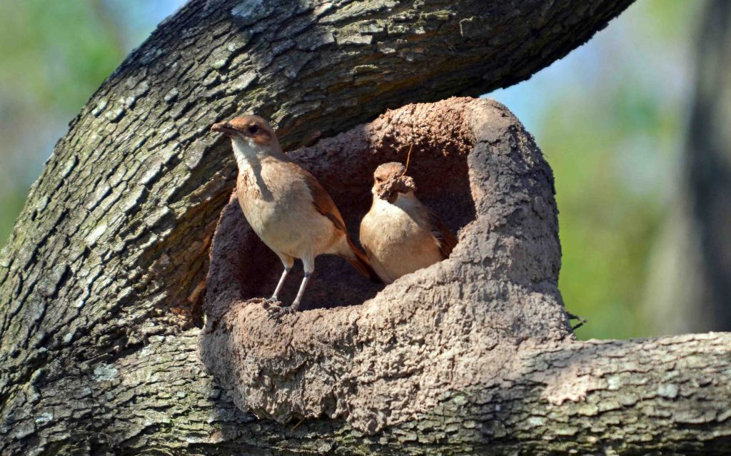 A pair of Rufous Horneros (Furnarius rufus) building a nest