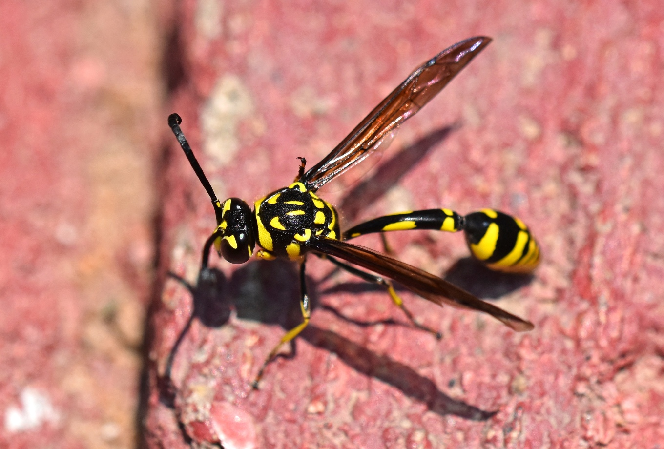 Potter wasp (Phimenes flavopictus) Chiang Mai 2