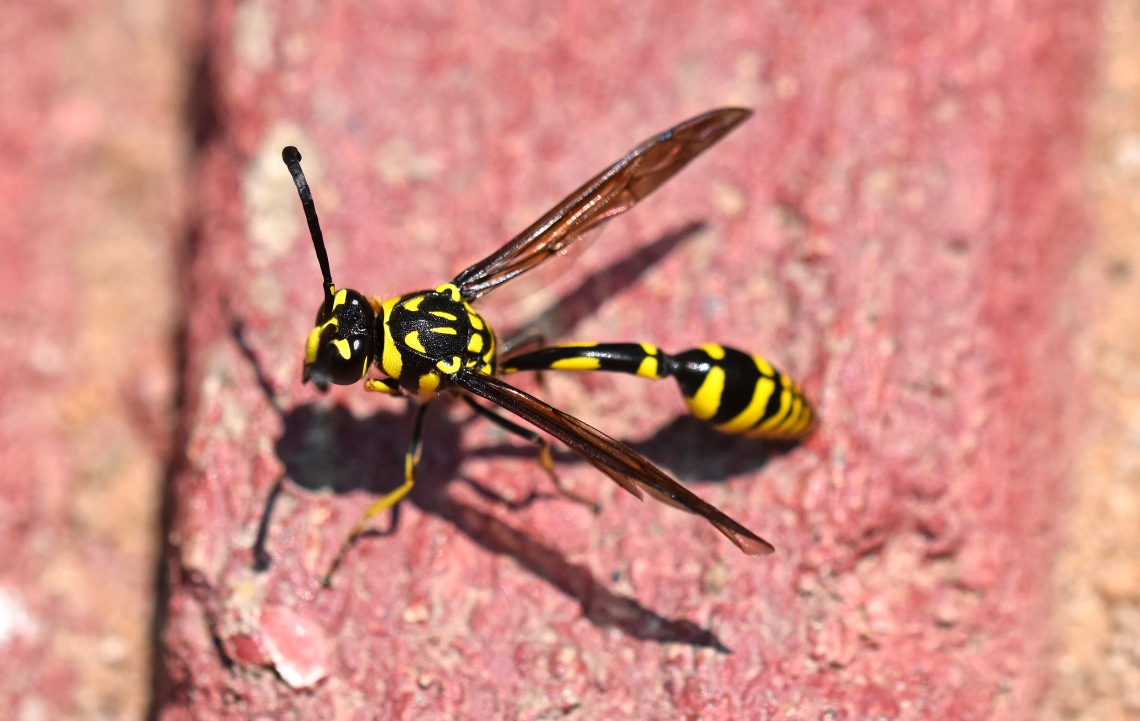 Potter wasp (Phimenes flavopictus) Chiang Mai 3