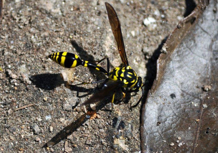 Potter wasp (Phimenes flavopictus) on Doi Pui, Chiang Mai, Thailand