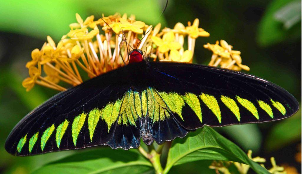Raja Brooke's birdwing (Trogonoptera brookiana)
