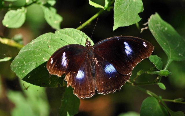 The Great Eggfly (Hypolimnas bolina jacintha) male UP Chiang Mai Zoo