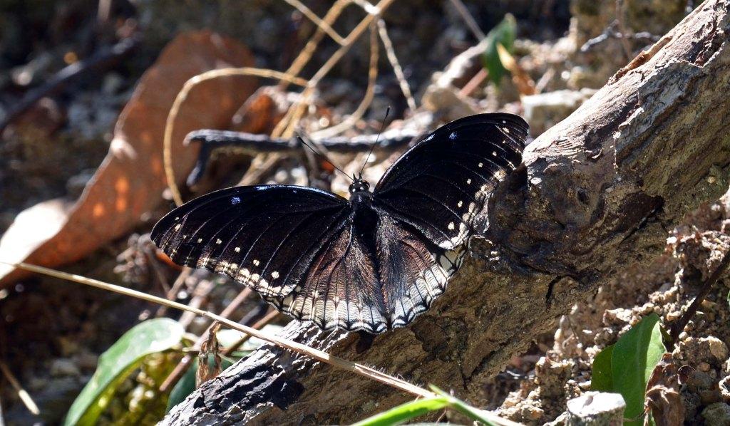 The Great or Jacintha Eggfly (Hypolimnas bolina jacintha) Chiang Mai Zoo