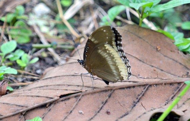 The Great or Jacintha Eggfly (Hypolimnas bolina jacintha) UW Chiang Mai Zoo