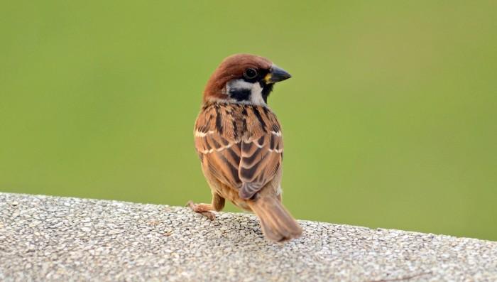 Asian tree sparrow (Passer montanus malaccensis)