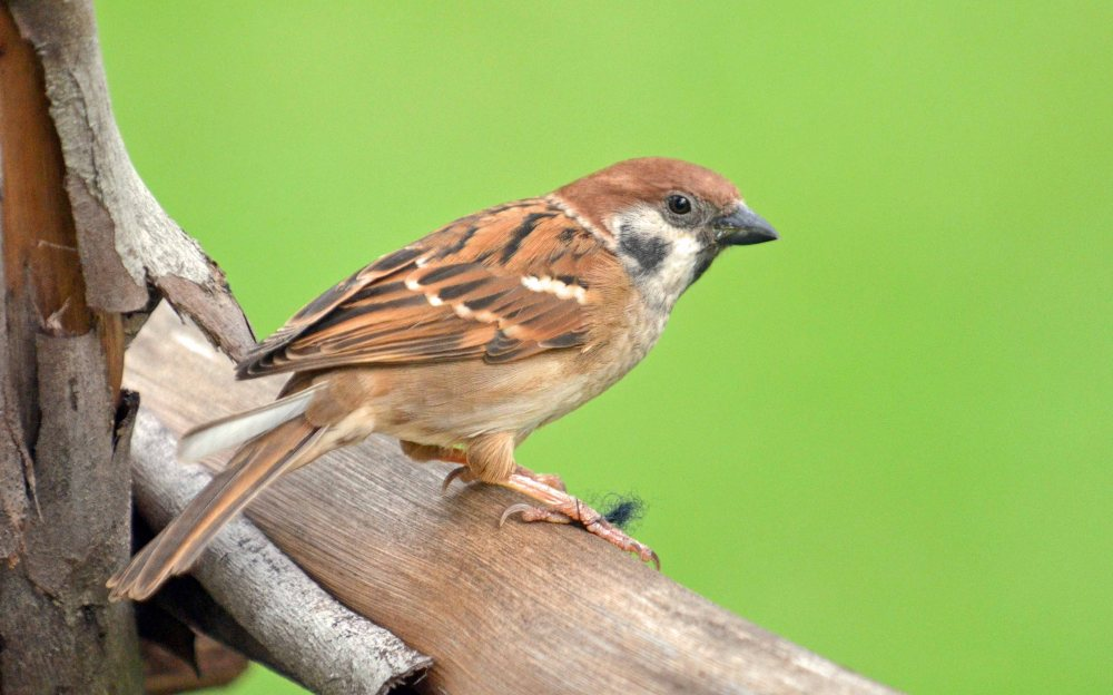 In praise of LBJs (Tree sparrows) (1/4)