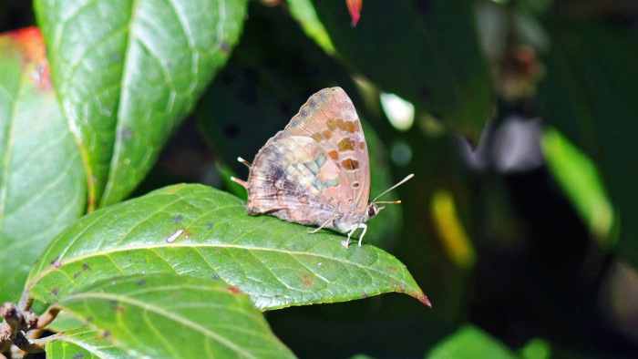 Unidentified butterfly on  Doi Inthanon