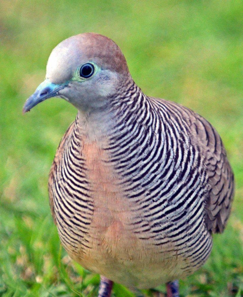 Zebra doves: an appreciation (2/5)