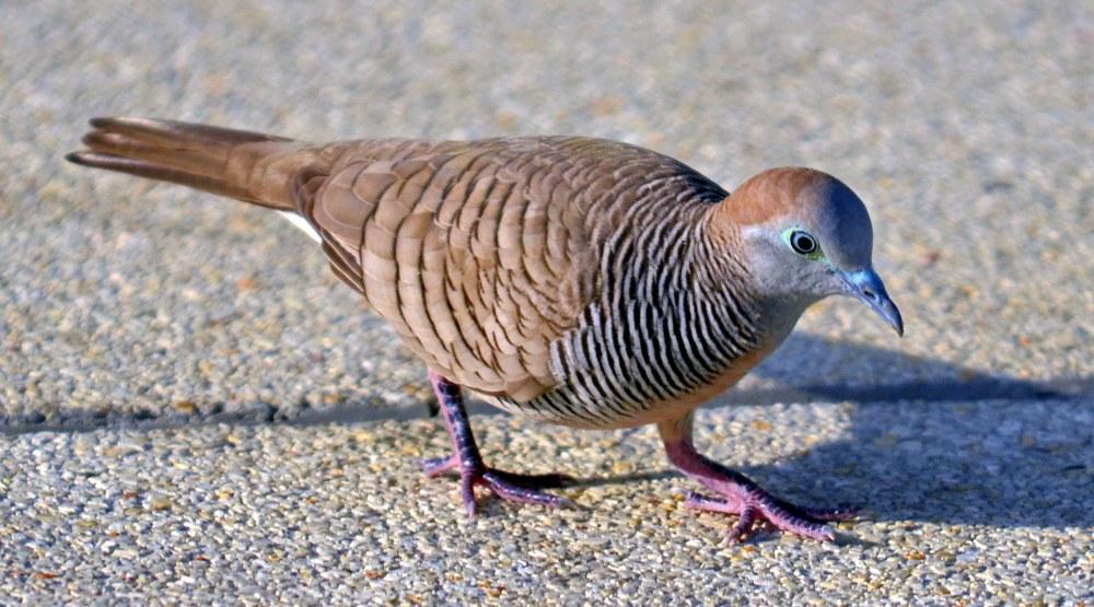 Zebra doves: an appreciation (3/5)