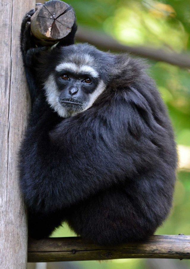 Agile or black-handed gibbon (Hylobates agilis)