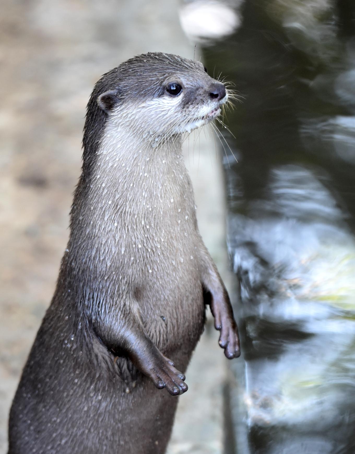 asian small-clawed otter (amblonyx cinerea) chiang mai zoo 2