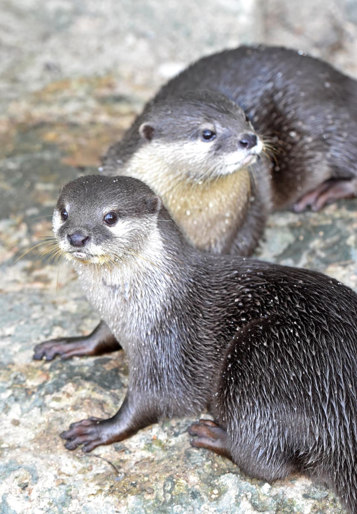 asian small-clawed otter (amblonyx cinerea) chiang mai zoo 4