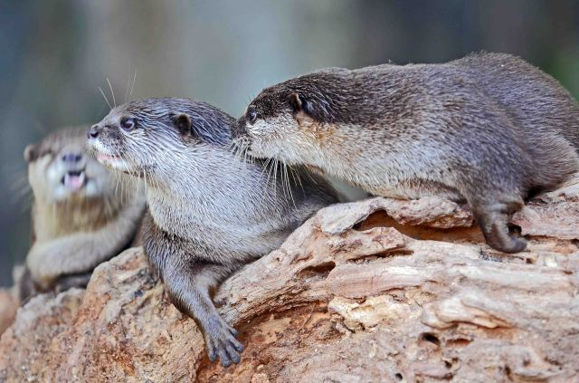 Asian small-clawed otters (Aonyx cinerea) Chiang Mai Zoo