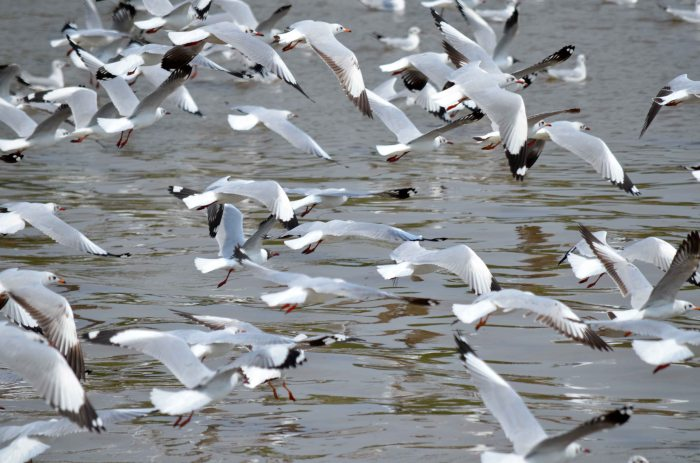 Brown-headed gull flock (Larus brunnicephalus)  in flight catching food