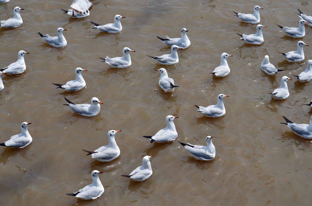 Brown-headed gull flock (Larus brunnicephalus) waiting for food at Bang Poo