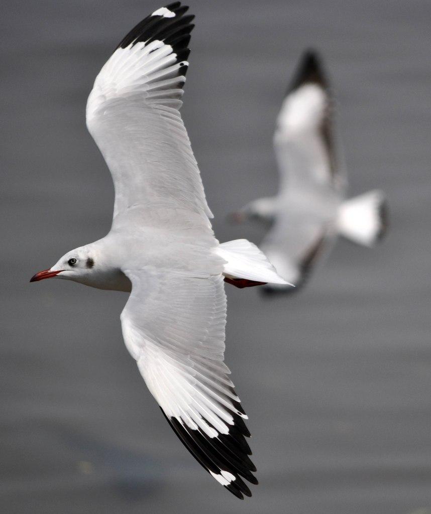 Brown-headed gull (Larus brunnicephalus) adult winter in flight