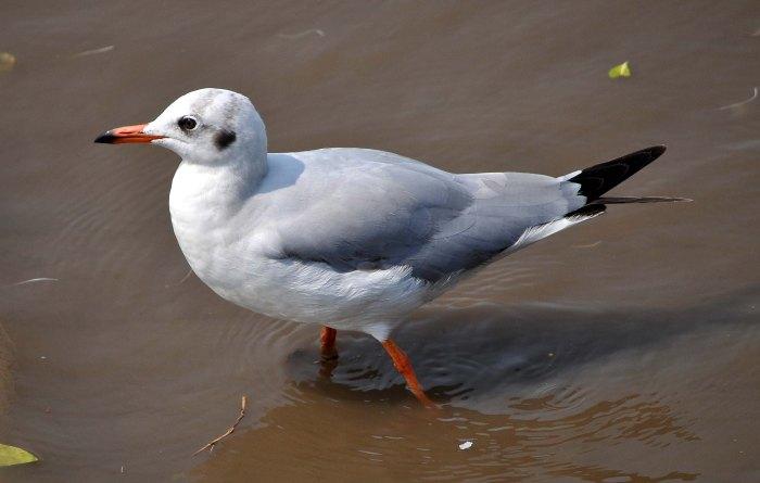 Brown-headed gull (Larus brunnicephalus) adult winter - at Bang Poo