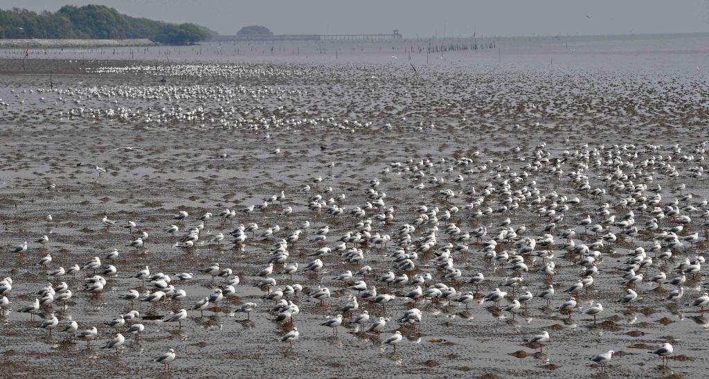 Brown-headed gulls on the mud flats at Bang Poo (5 Feb 2011)
