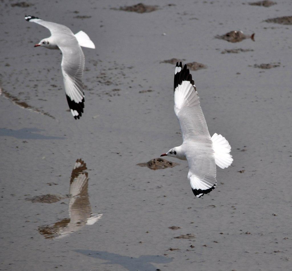 Brown-headed gulls (Larus brunnicephalus) adult winter in flight