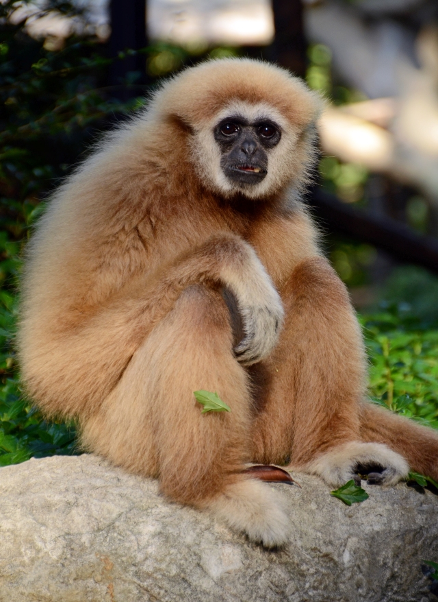 Lar or white-handed gibbon (Hylobates lar) Chiang Mai Zoo
