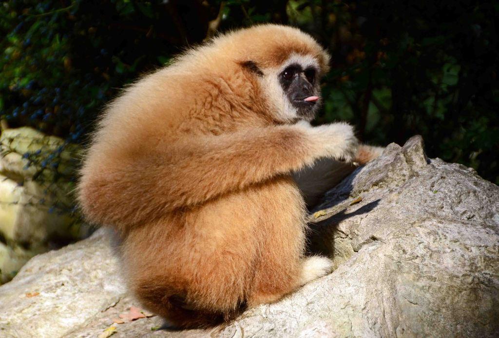 White-handed gibbon (Hylobates lar) Chiang Mai Zoo
