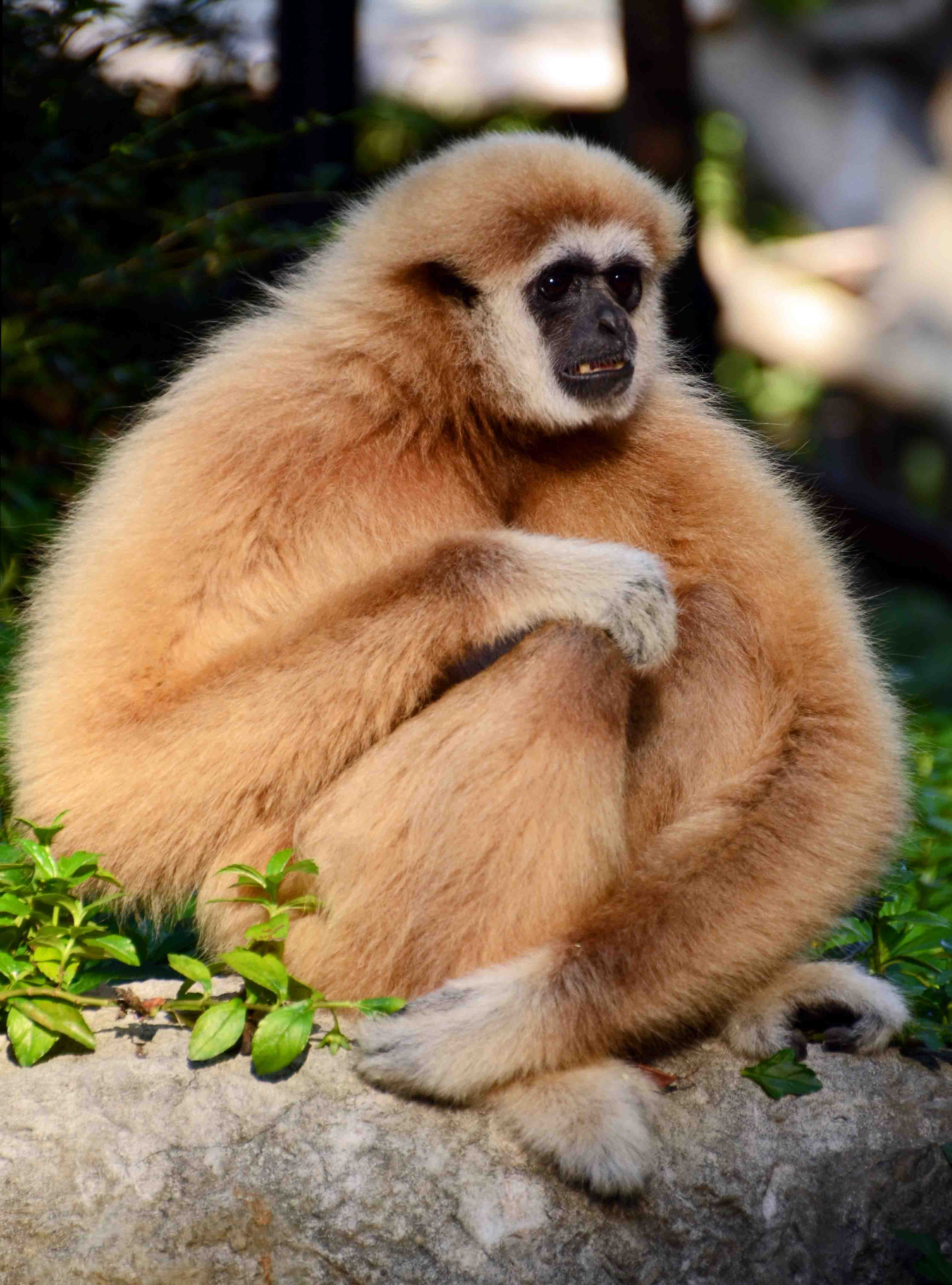 More gibbon photos! – Ray Cannon's nature notes