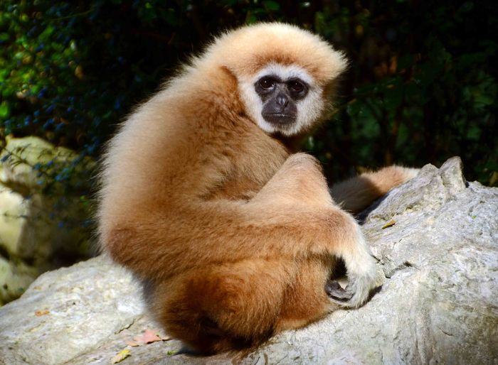 White-handed gibbon (Hylobates lar) looking into the camera lens