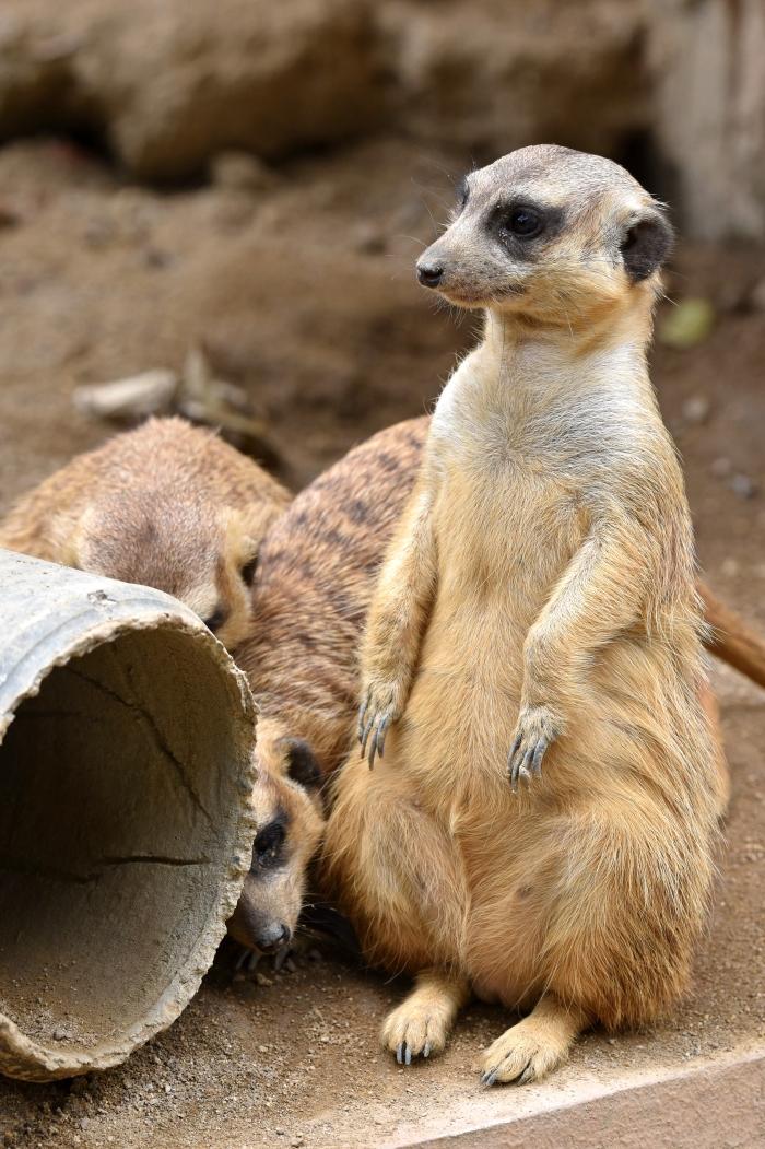 meerkats (suricata suricatta) 3