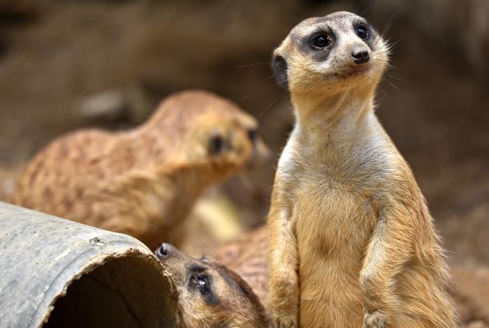 meerkats (suricata suricatta) 5