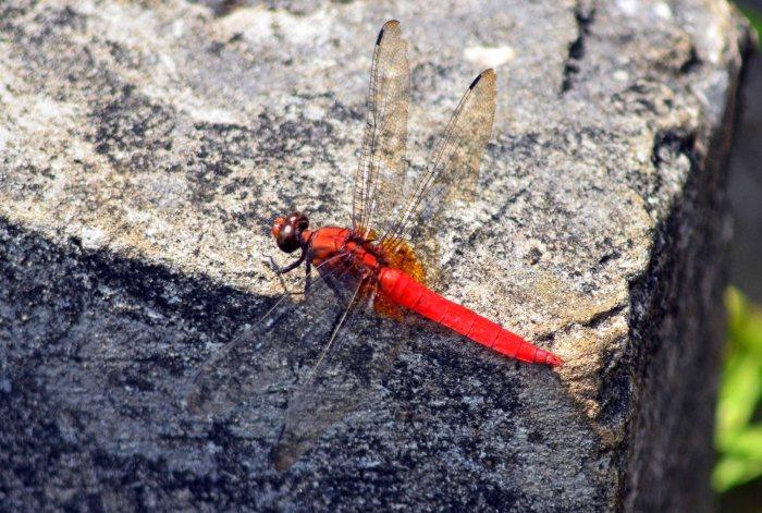 Orange Skimmer Dragonfly (Orthetrum testaceum) Baklo NP