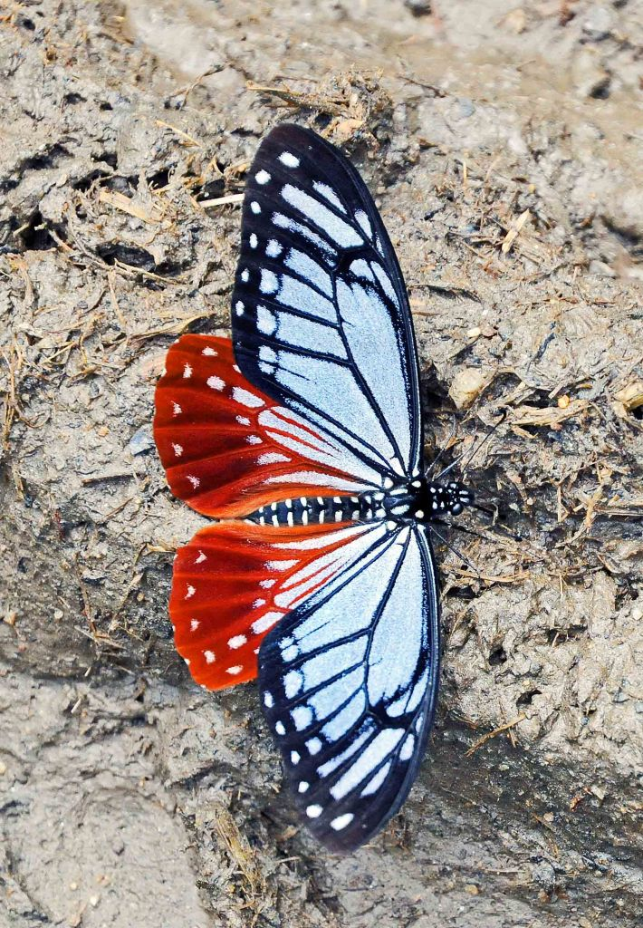 Nepalese Tawny Mime (Papilio agestor agestor Gray, 1831) in Arunachul Pradesh