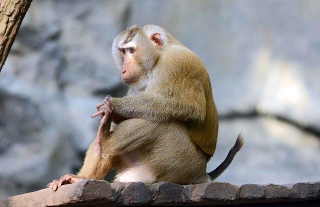 Pig-tailed macaque (Macaca sp.)