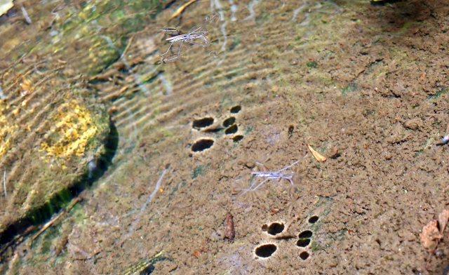 Pond skaters (Gerridae) Rio Sor, Galicia, Spain