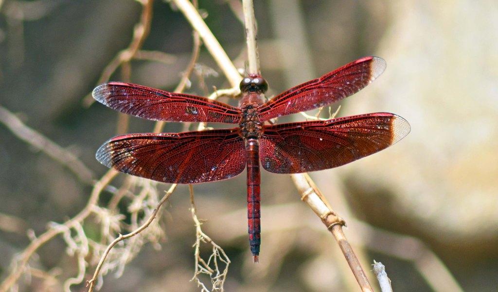 Red Grasshawk Dragonfly (Neurothemis fluctuans) Bako NP, Sarawak